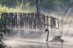 Natación del cisne en la niebla que flota en el agua en invierno foto de archivo
