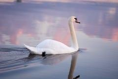 Natación del cisne en la puesta del sol fotografía de archivo