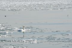 Natación del cisne mudo en medio de flujos del hielo Fotografía de archivo libre de regalías