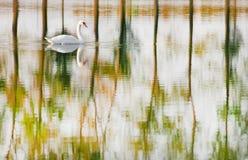 Natación del cisne mudo en un lago con el reflejo de árboles otoñales foto de archivo libre de regalías