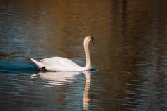Natación del cisne mudo en un lago en Grand Rapids Michigan imagen de archivo