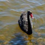 Natación del cisne negro Fotos de archivo libres de regalías
