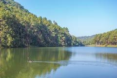 Natación del cisne negro en el lago en Pang Oung, Mae Hong Son Imágenes de archivo libres de regalías