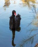 Natación del cisne negro en la charca Fotografía de archivo libre de regalías