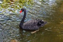 Natación del cisne negro en una charca en el parque imágenes de archivo libres de regalías