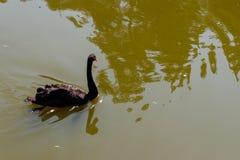 Natación del cisne negro en una superficie del lago fotos de archivo libres de regalías