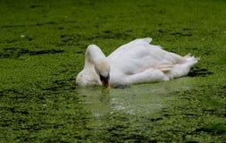 Natación del cisne a través de algas mientras que come imagen de archivo libre de regalías