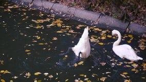 Natación del cisne y el jugar en el agua almacen de metraje de vídeo