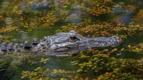Natación del cocodrilo, coto nacional grande de Cypress, la Florida fotografía de archivo