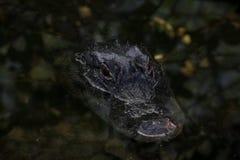 Natación del cocodrilo, coto nacional grande de Cypress, la Florida imagenes de archivo