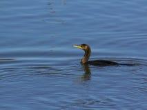 Natación del cormorán en el río Fotografía de archivo libre de regalías