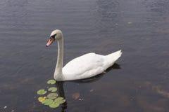 Natación del cygnus del cygnus del cisne en un lago imagen de archivo