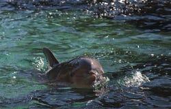 Natación del delfín Imagenes de archivo
