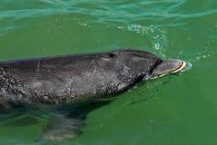 Natación del delfín fotos de archivo libres de regalías