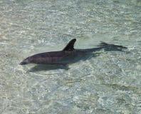 Natación del delfín en agua clara Imagen de archivo