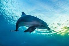 Natación del delfín en el Mar Rojo imágenes de archivo libres de regalías