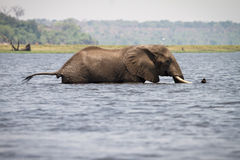 Natación del elefante foto de archivo libre de regalías