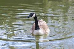 Natación del ganso de Canadá imagen de archivo