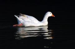 Natación del ganso en el agua Imagenes de archivo