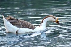 Natación del ganso en el agua Fotos de archivo libres de regalías