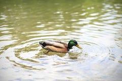Natación del ganso en una charca Fotografía de archivo libre de regalías