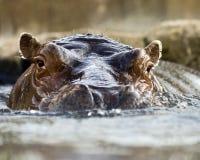 Natación del hipopótamo Fotografía de archivo libre de regalías