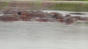Natación del hipopótamo en el río metrajes