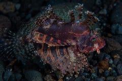 Natación del Lionfish de Shortfin en oscuridad fotografía de archivo libre de regalías