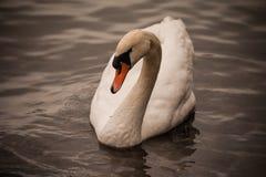 Natación del olor del Cygnus del cisne mudo en agua Imagen de archivo libre de regalías