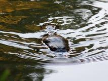 Natación del ornitorrinco en el río Fotos de archivo libres de regalías