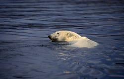 Natación del oso polar fotografía de archivo libre de regalías