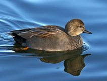 Natación del pájaro de agua del pato zambullidor en perfil Imagen de archivo