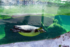 Natación del pájaro del pingüino fotografía de archivo