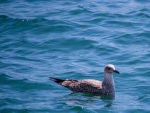 Natación del pájaro en el agua que mira la cámara Fotografía de archivo