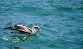 Natación del pájaro en el agua y consumición con el espacio en el top para el texto o el logotipo Imagenes de archivo