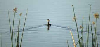 Natación del pájaro en el lago Imagen de archivo libre de regalías