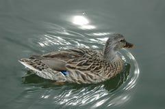 Natación del pato Imágenes de archivo libres de regalías