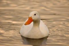 Natación del pato Fotos de archivo libres de regalías
