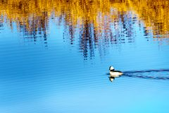 Natación del pato del Bufflehead en el río de Alouette en Pitt Polder en la ciudad del arce Ridge en Fraser Valley de la Columbia Fotos de archivo libres de regalías