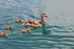 Natación del pato de la madre con la familia de anadones Imagen de archivo