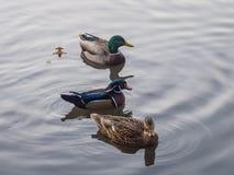 Natación del pato de mandarín con otros patos fotos de archivo