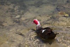 Natación del pato de Muscovy Imagen de archivo libre de regalías