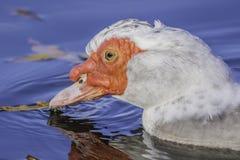 Natación del pato de Muscovy en la charca con las hojas caidas fotografía de archivo libre de regalías