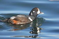 Natación del pato del Harlequin Imagenes de archivo
