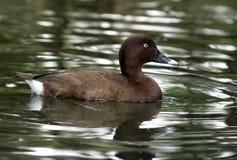 Natación del pato en agua Fotografía de archivo libre de regalías
