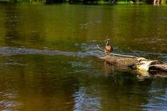 Natación del pato en clave el río en Letonia fotografía de archivo libre de regalías