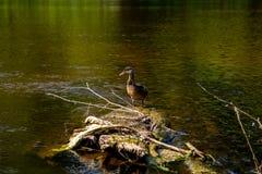 Natación del pato en clave el río en Letonia fotografía de archivo