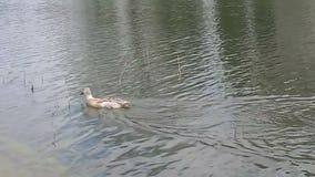Natación del pato en el lago metrajes
