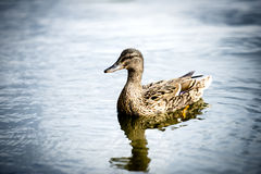 Natación del pato en el lago fotografía de archivo libre de regalías