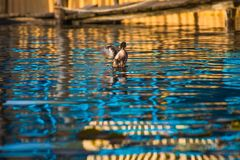 Natación del pato en el lago Foto de archivo libre de regalías